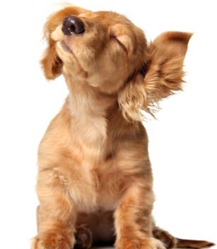 https://www.ben-zaken.co.il/wp-content/uploads/2015/03/DOG-EARS-307x353.jpg